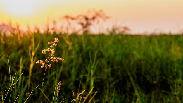 Grasblume mit sonnenuntergang