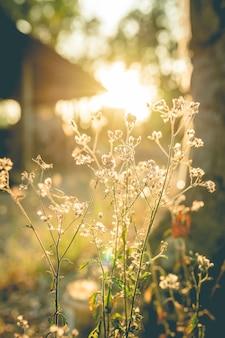 Grasblume mit sonnenunterganghintergrund.