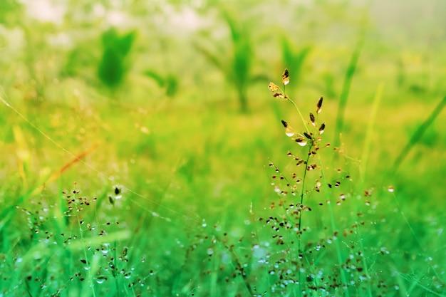 Grasblume mit tautropfen am morgensonnenaufgang