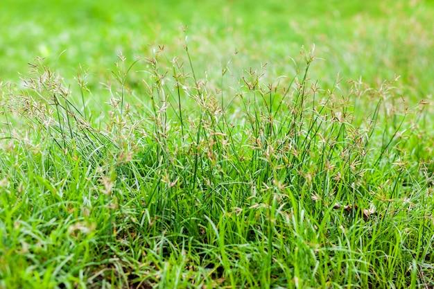 Grasblume und orange sonnenlichtton des unschärfehintergrundes in der natur