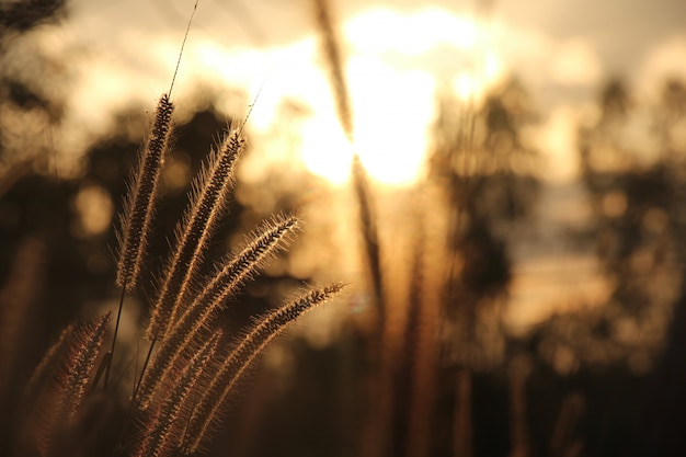 Grasblumen mit sonnenuntergang