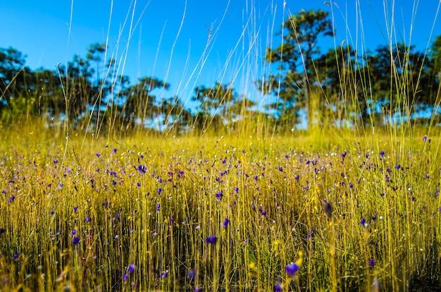 Grasfelder, die in thailand populär gewesen sind.