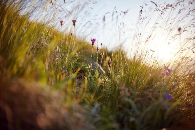 Grashalm, der im wind in der makro-foto-nahaufnahme des sonnenuntergangs schwankt. ährchen gegen sonne im feld, ländliche landschaft, wildblumen
