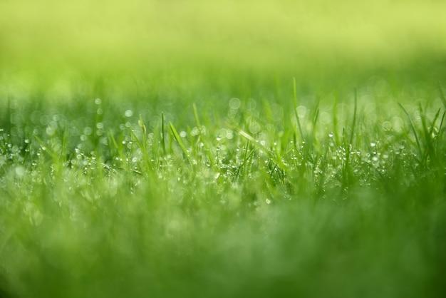 Grashintergrund: abstraktes grünes gras des natürlichen hintergrunds mit einem schönen bokeh. tau am frühen morgen auf den gräsern.
