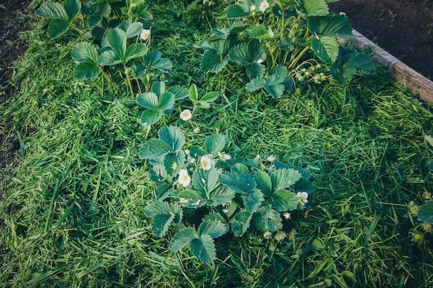 Grasmulch um erdbeerpflanzen im garten gelegt