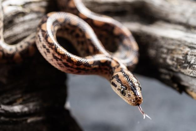 Grasschlange (natrix natrix) erwachsener bewegt seine zunge.