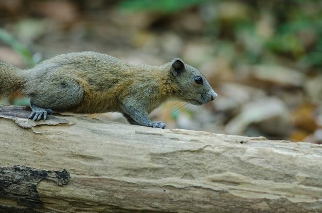 Grau-aufgeblähtes eichhörnchen auf baum im wald, thailand