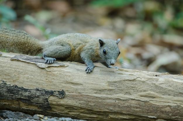 Grau-aufgeblähtes eichhörnchen im wald