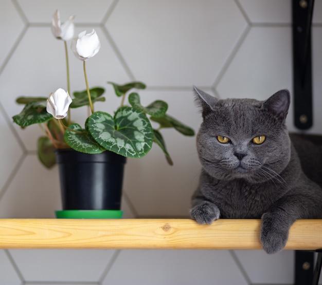 Graue britische katze liegt auf einem regal neben blumen in einem topf