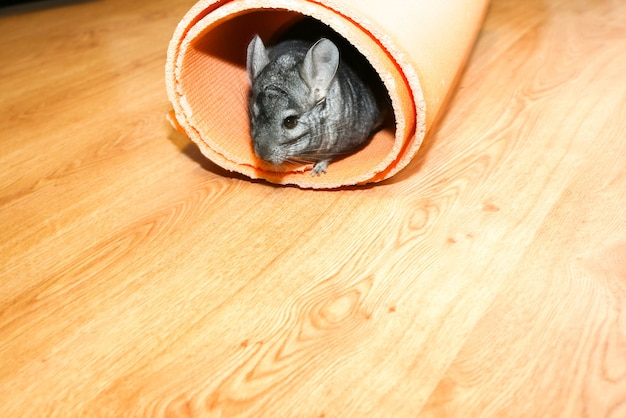 Graue chinchilla, die auf dem boden in der yogamatte spielt.