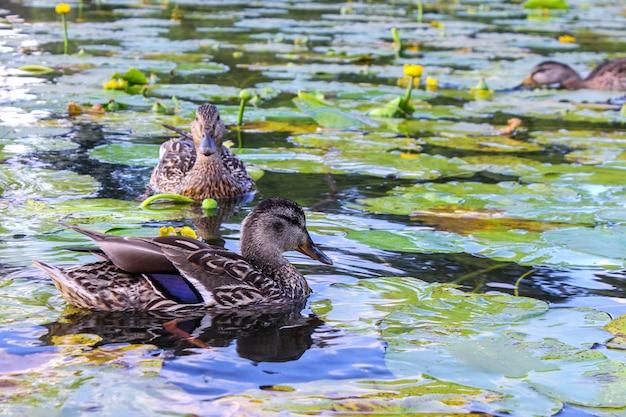 Graue enten schwimmen im sommer in einem teich mit seerosen.