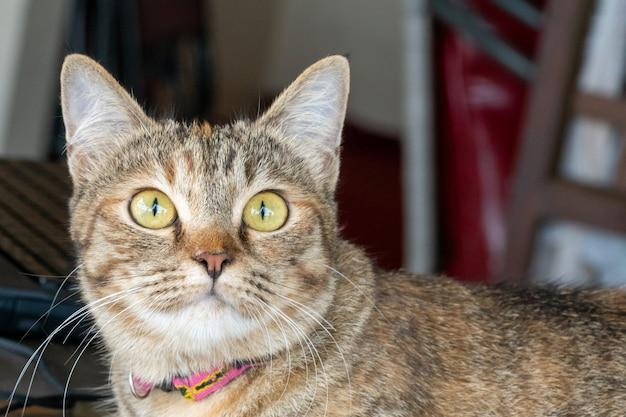 Graue erwachsene nette katze schaut mit großen augen überrascht. nahansicht