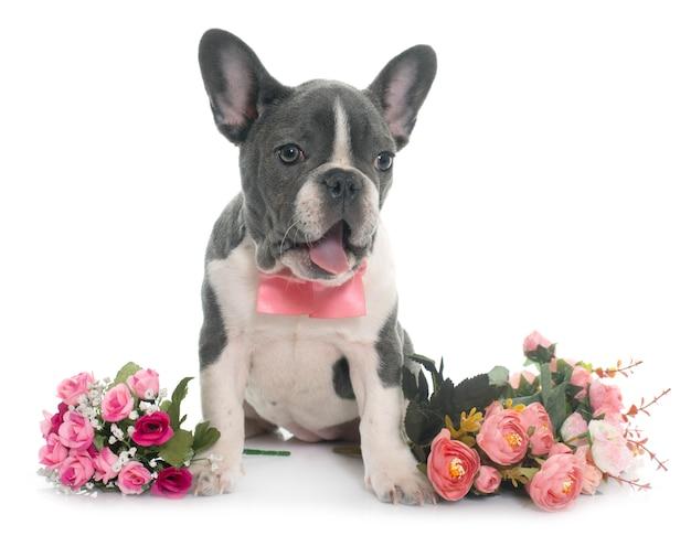 Graue französische bulldogge