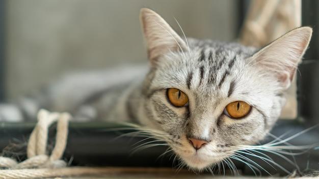 Graue gestreifte katze, die im raum liegt.