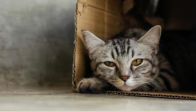 Graue gestreifte katze, die in einem kasten liegt.