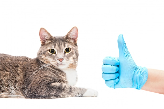Graue katze am tierarzt, gesundes tier