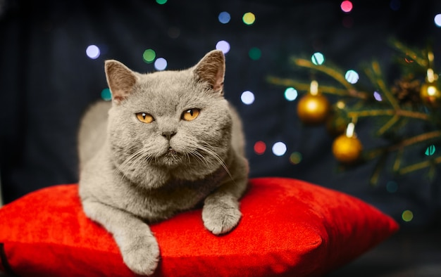 Graue katze auf einem roten kissen