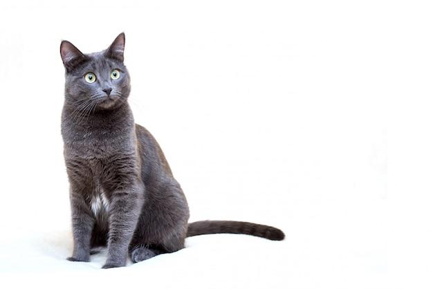 Graue katze auf weißem hintergrund