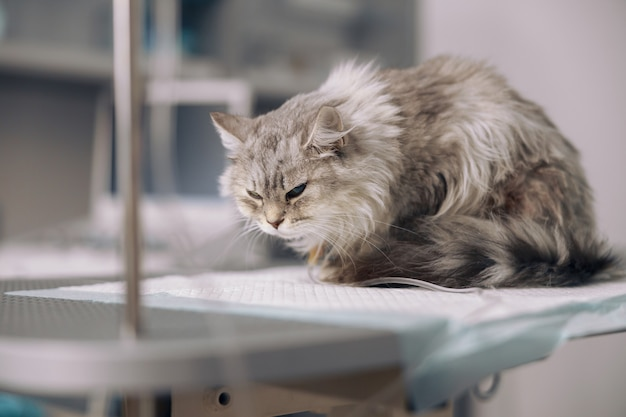 Graue katze bei intravenöser infusion leidet unter schmerzen auf dem tisch