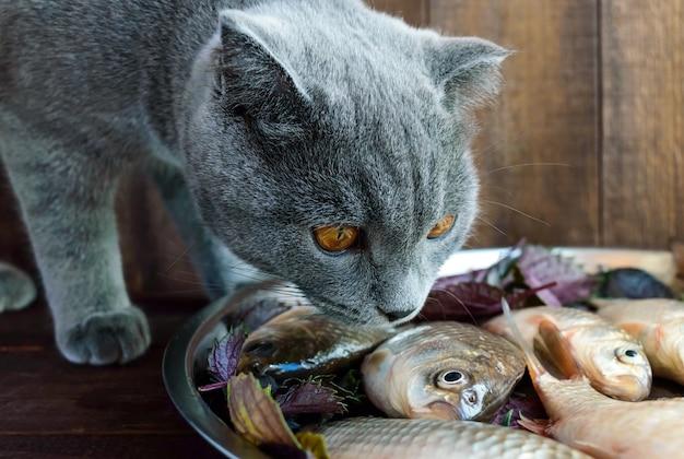 Graue katze, die fisch von einem tablett isst