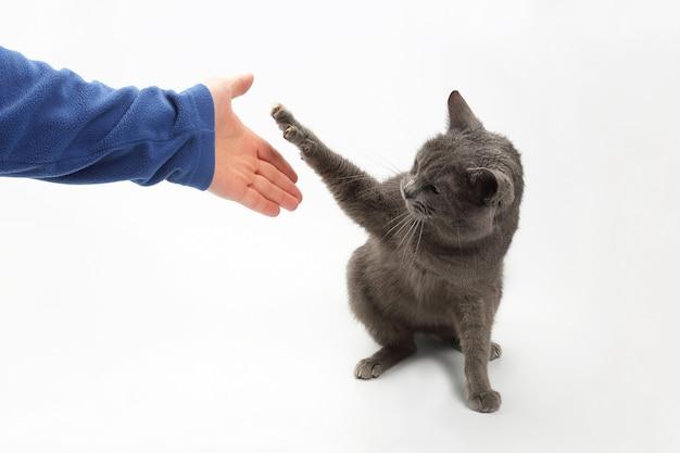 Graue katze gibt eine pfote mit ausgestreckten krallen in der handfläche der person