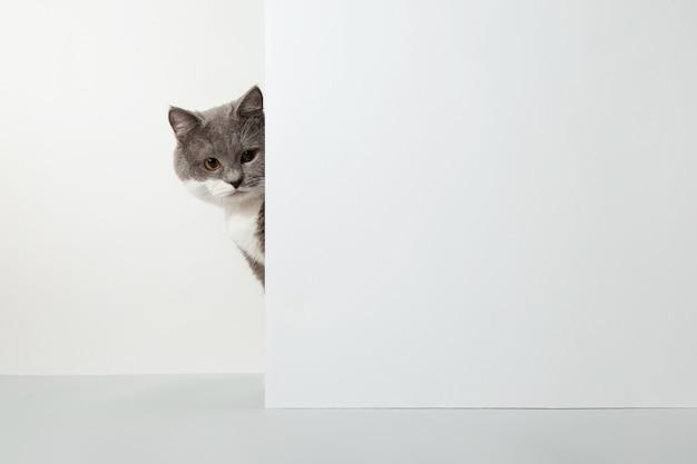 Graue katze guckt aus der ecke, tiergefühle, auf einem weißen haustierkonzept.