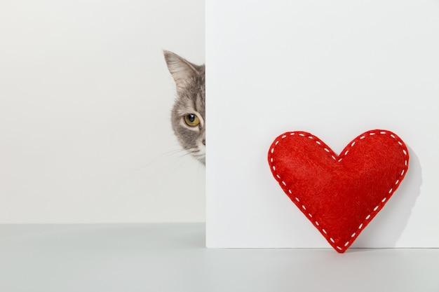 Graue katze guckt aus der ecke, tiergefühle, rotes handwerksherz, valentinstag, auf einem weißen konzept.