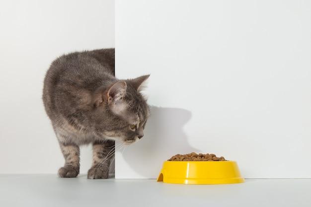 Graue katze guckt aus der ecke, tierische gefühle, schaut auf eine schüssel mit futter, auf einem weißen konzept.