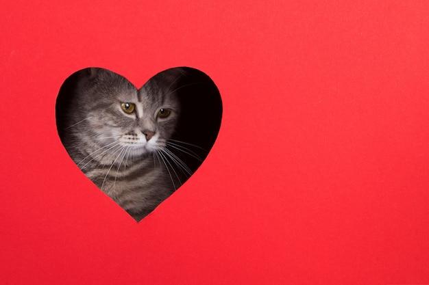 Graue katze guckt aus loch in form eines herzens auf rotem grund. valentinstag konzept