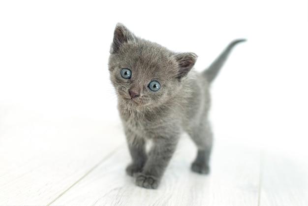 Graue katze in den händen auf einem weißen hintergrundisolat. neugeborenes kätzchen britischer rasse mit blauen augen und grauem haar