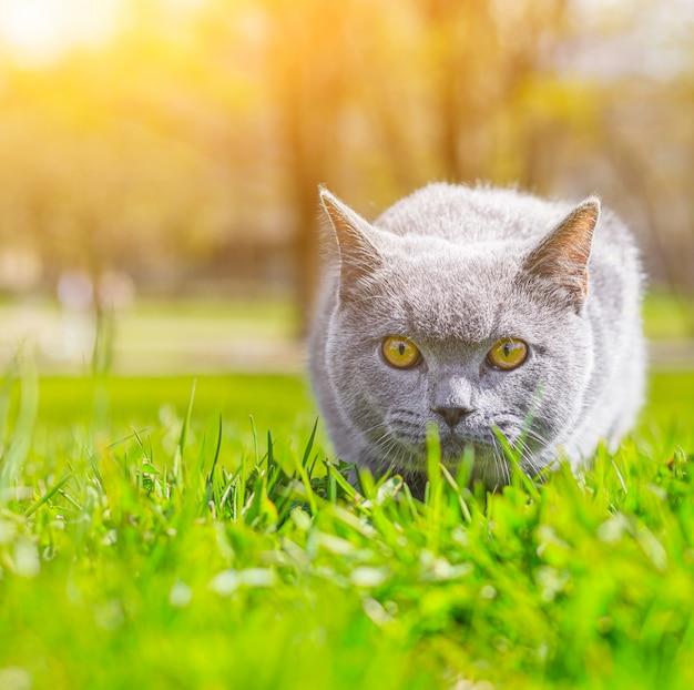 Graue katze liegt auf dem rasen. haustier für einen spaziergang. pet hat angst vor der straße. ein artikel über wandelnde katzen. ein artikel über die angst vor haustieren. britische zuchtkatze. .