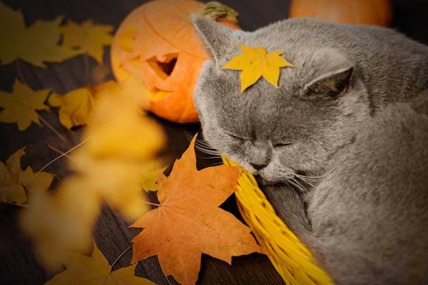Graue katze schläft in einem kleinen gelben korb, umgeben von herbstlaub und kürbissen. halloween-katze