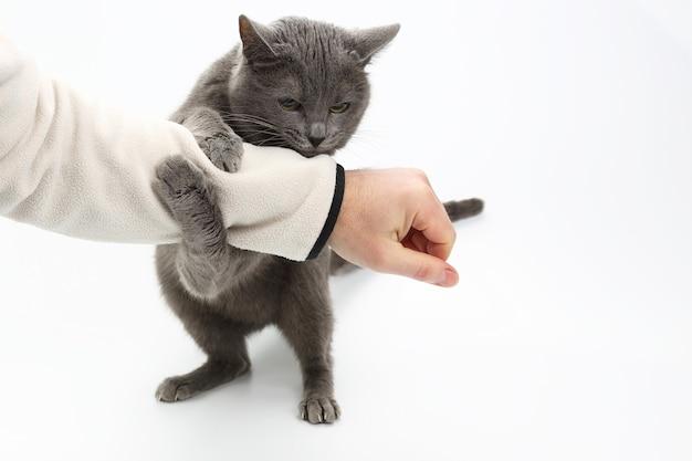 Graue katze umklammerte seine pfoten die hand eines mannes auf weißem hintergrund