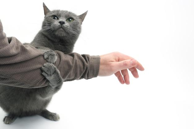 Graue katze umklammerte seine pfoten mit der hand eines mannes auf weiß