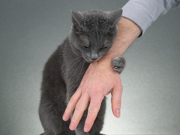 Graue katze umklammerte seine pfoten mit der hand eines mannes
