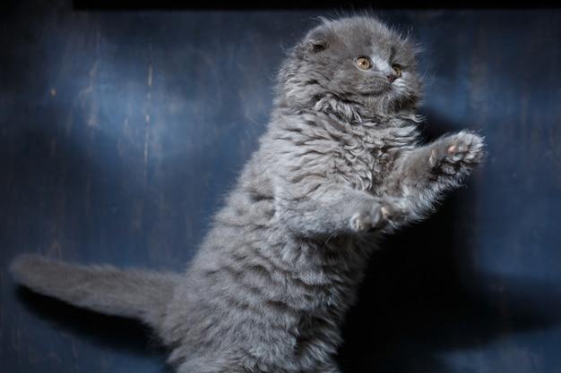 Graue kleine katze der rasse scottish fold spielt auf grauem hintergrund