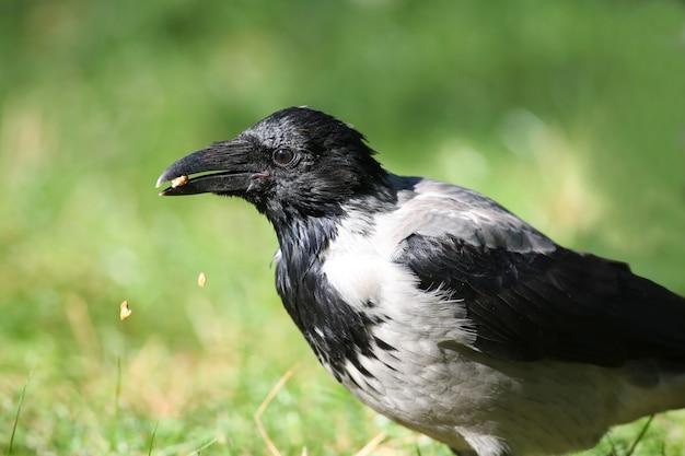 Graue krähe frisst nuss, nussstücke fallen ins gras