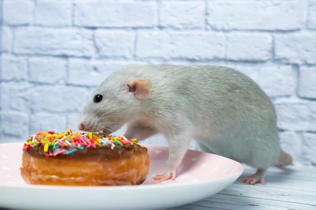 Graue ratte, die süßes donutgebäck isst nicht auf diät.geburtstag.