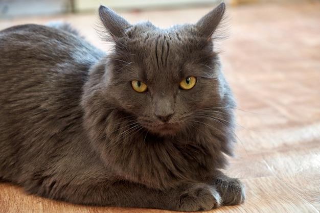 Graue rauchige katze mit bernsteinfarbigen augen
