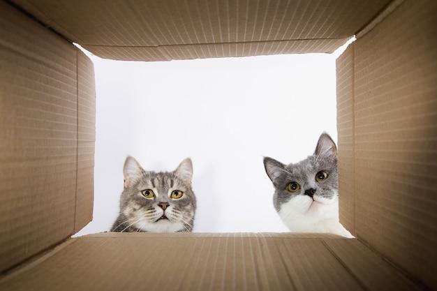 Graue schöne katze, späht in den pappkarobka, ein neugieriges haustier prüft interessante stellen. speicherplatz kopieren.
