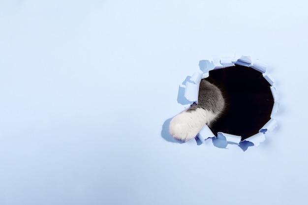 Graue schöne süße katze späht aus einem loch in blauem papier. speicherplatz kopieren.