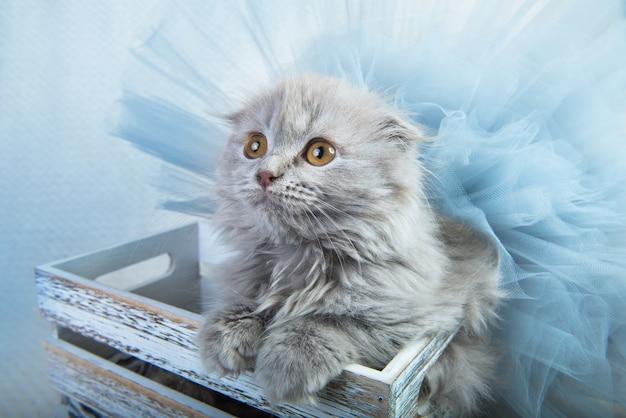Graue schottische falte hochlandfaltenkätzchenkatze sitzt in einer schachtel.