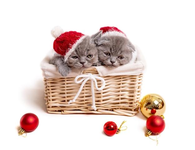 Graue schottische kätzchen in weihnachtsmützen liegen im korb lokalisiert auf weiß mit weihnachtsdekorationskugeln
