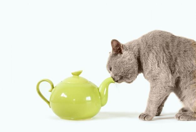 Graue schottische katze und grüne teekanne. getränke für katzen.