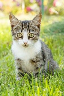 Graue und weiße getigerte katze auf grünem gras im freien in der natur. porträt mit geringer schärfentiefe