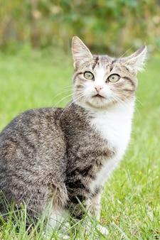 Graue und weiße getigerte katze mit überraschtem blick auf grünem gras im freien in der natur