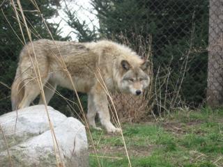 Graue wolf