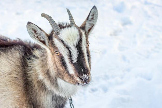 Graue ziege auf schnee, nahaufnahmeporträt