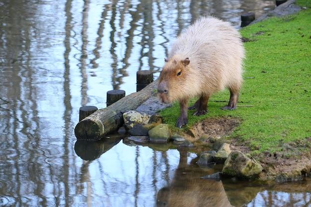 Grauer capybara, der auf einem feld des grünen grases neben dem wasser steht