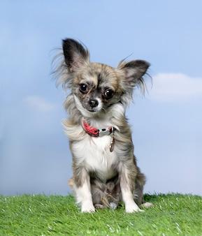 Grauer chihuahua, der auf gras gegen blauen himmel sitzt